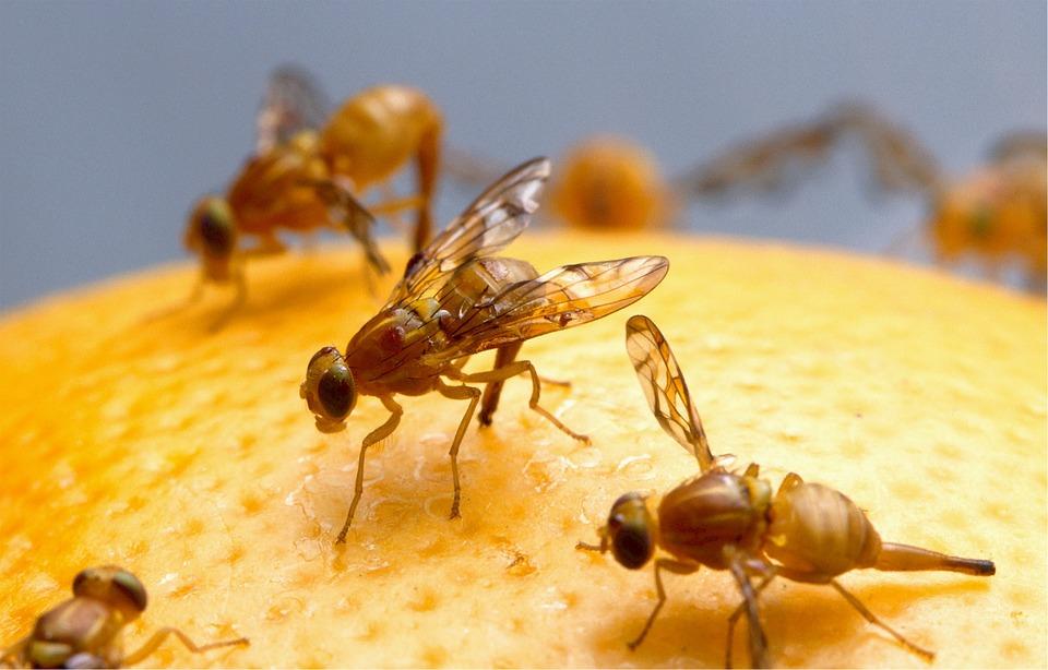 mittel-und-tipps-gegen-fruchtfliegen